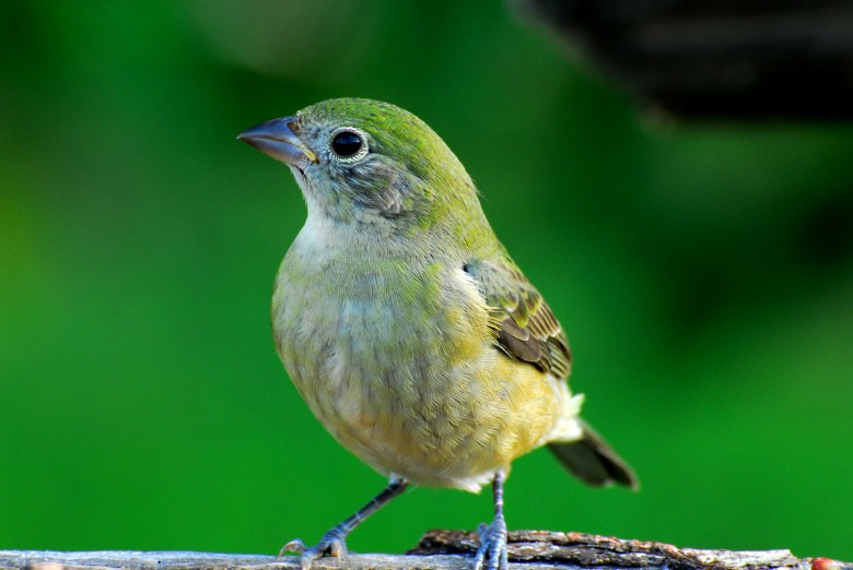 Juvenile painted bunting - photo#4